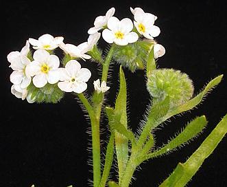 Plagiobothrys hirtus