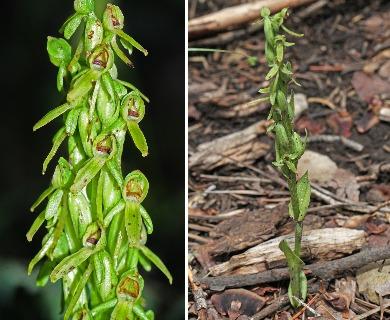 Platanthera brevifolia