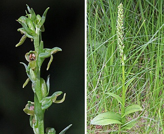 Platanthera purpurascens