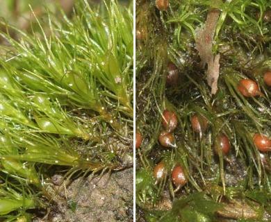 Pleuridium subulatum
