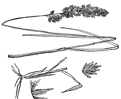 Poa arachnifera