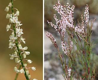 Polygonella articulata