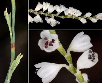 Polygonella gracilis