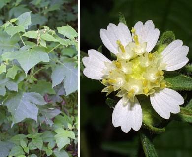 Polymnia canadensis