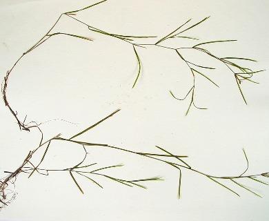Potamogeton hillii