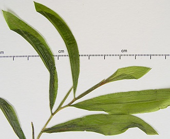 Potamogeton illinoensis