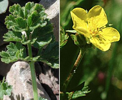 Potentilla brevifolia