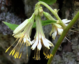 Prenanthes serpentaria