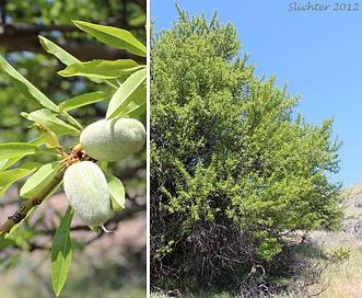Prunus dulcis