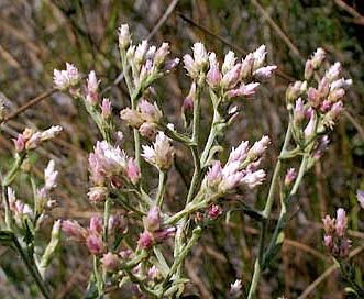 Pseudognaphalium ramosissimum