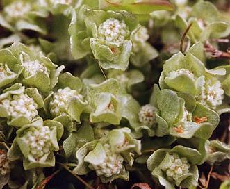 Psilocarphus chilensis