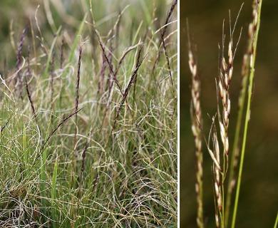 Ptilagrostis kingii