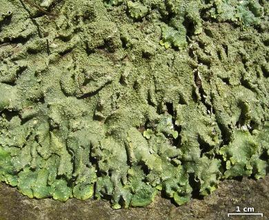 Punctelia missouriensis