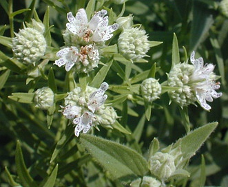 Pycnanthemum verticillatum