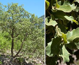 Quercus chihuahuensis