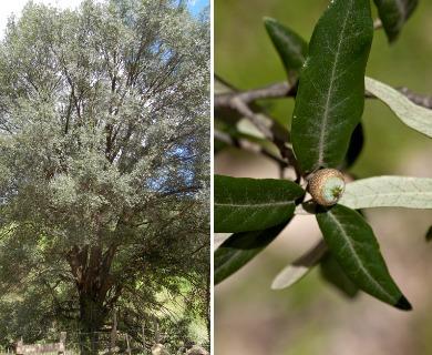 Quercus durifolia