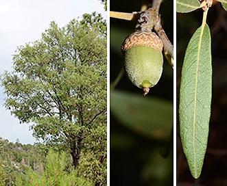 Quercus hypoleucoides