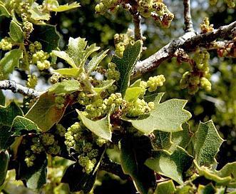 Quercus john-tuckeri