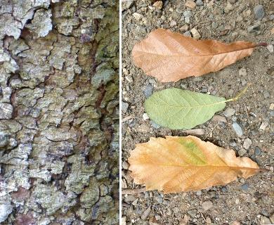 Quercus obtusata