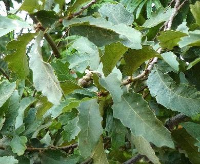 Quercus peduncularis