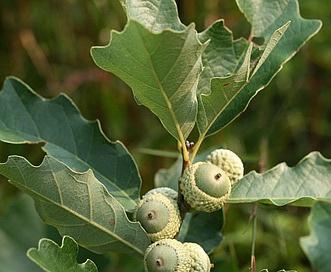Quercus prinoides