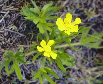 Ranunculus acriformis