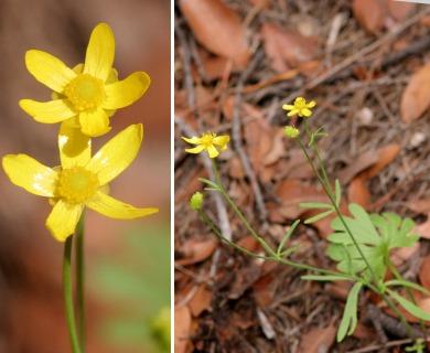 Ranunculus arizonicus