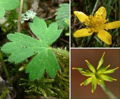 Ranunculus occidentalis