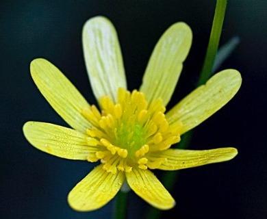 Ranunculus petiolaris