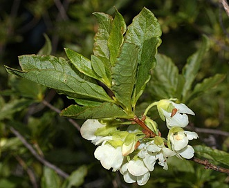 Rhododendron albiflorum