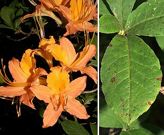 Rhododendron calendulaceum