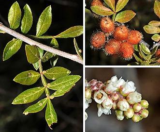 Rhus microphylla