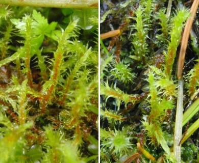 Rhytidiadelphus squarrosus