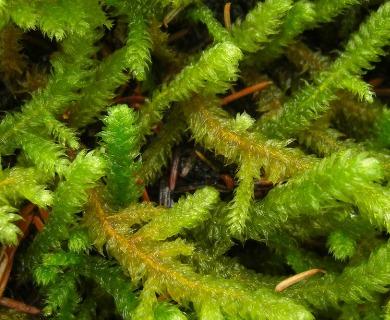 Rhytidiopsis robusta