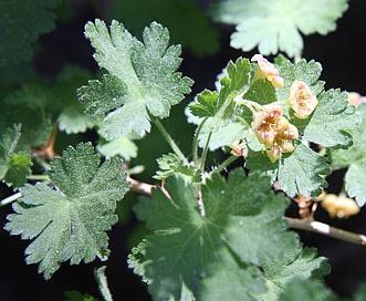 Ribes montigenum