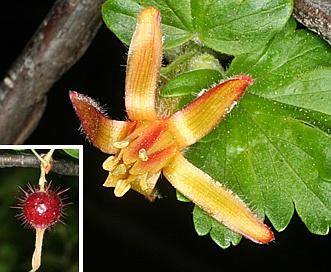 Ribes pinetorum
