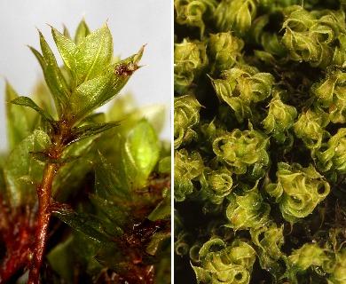 Rosulabryum laevifilum