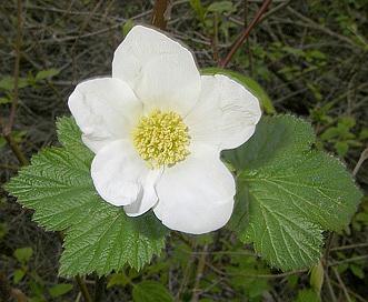 Rubus neomexicanus