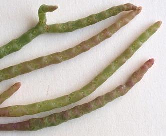 Salicornia maritima