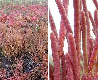 Salicornia rubra