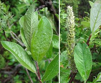 Salix alaxensis