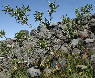 Salix barclayi
