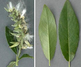 Salix maccalliana