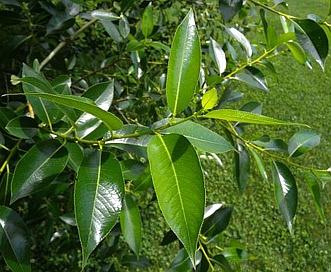 Salix pentandra