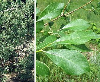 Salix scouleriana