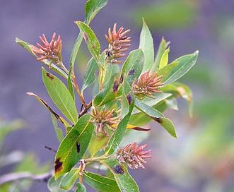 Salix serissima