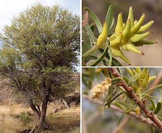 Salix taxifolia