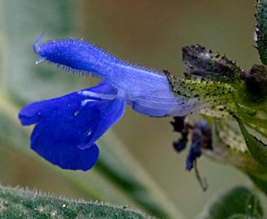 Salvia lavanduloides