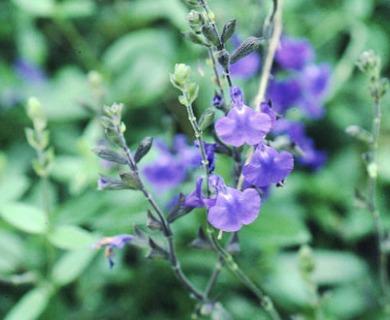 Salvia lycioides