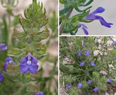 Salvia texana